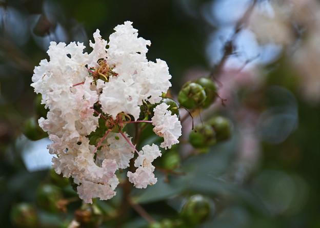 白薇(はくび)