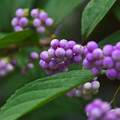 Photos: 小紫(コムラサキ)