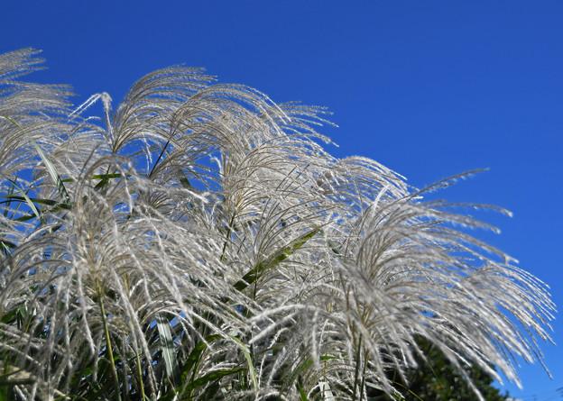 秋風に揺れる花穂
