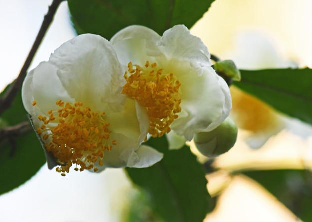 茶の木の花1