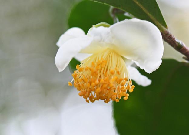 茶の木の花2
