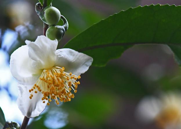 茶の木の花