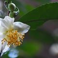 Photos: 茶の木の花