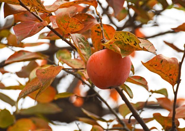 冬空に浮かぶ熟柿