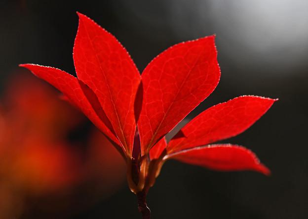 満天星躑躅の深紅葉