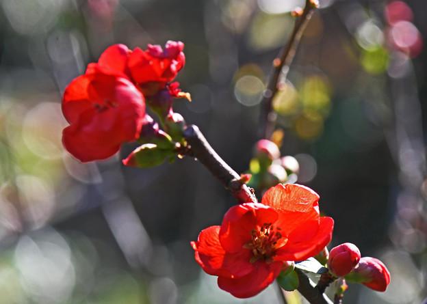 緋木瓜赤く華やぐ1