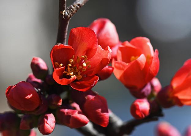 緋木瓜赤く華やぐ2