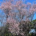 樹林公園の桜