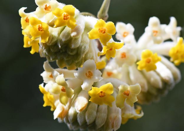 三椏の花1
