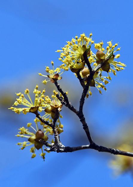 山茱萸の花1