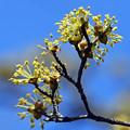 Photos: 山茱萸の花1