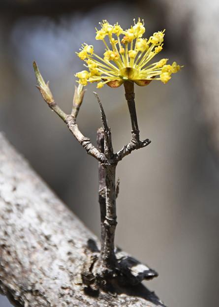 山茱萸の花2