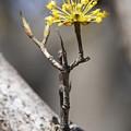 Photos: 山茱萸の花2