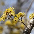 Photos: 山茱萸の花3