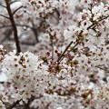 Photos: 桜花爛漫1