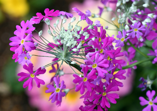 Photos: 花毬