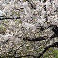 Photos: 桜爛漫