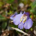 Photos: 紫鷺苔1(ムラサキサギゴケ)