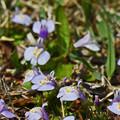 Photos: 紫鷺苔2(ムラサキサギゴケ)