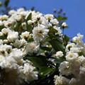 白のモッコウバラ1