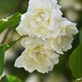 白のモッコウバラ3