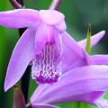 Photos: 紫蘭(シラン)紅紫3