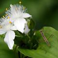 Photos: カマキリの幼虫