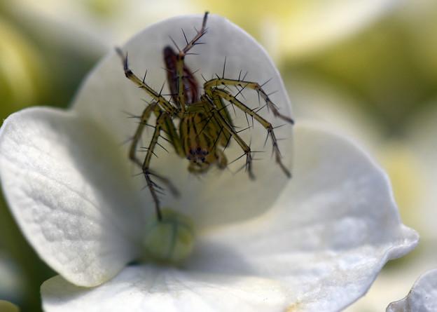 笹蜘蛛(ササグモ)