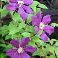 Photos: 花壇に咲く2