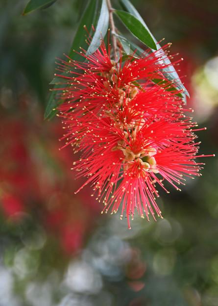 金宝樹(キンポウジュ)
