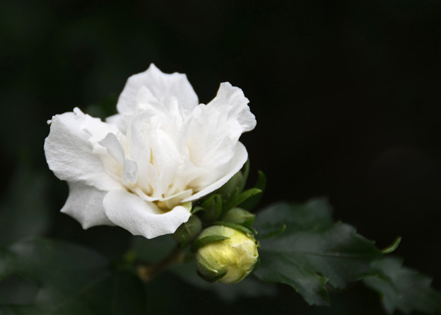 Photos: 八重咲1
