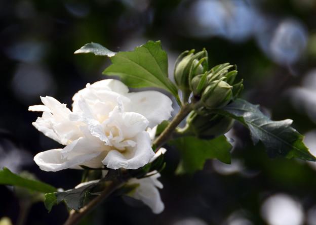 Photos: 八重咲2