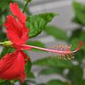 Photos: 長~い花柱