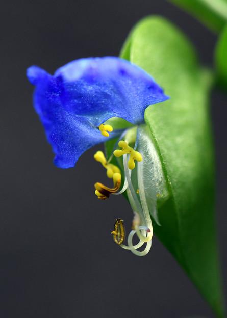 鮮やかな青い花2