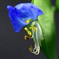 Photos: 鮮やかな青い花2
