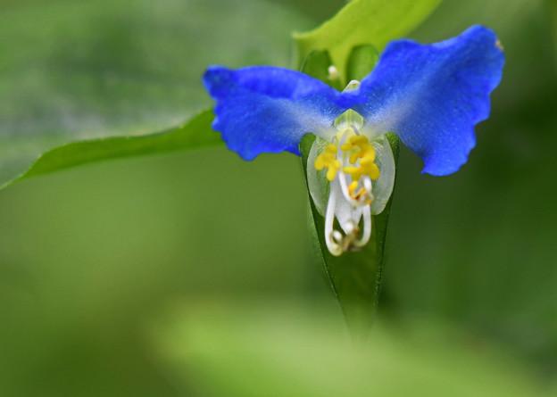 鮮やか青い花3