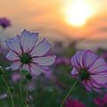 Photos: 夕焼け空と秋桜