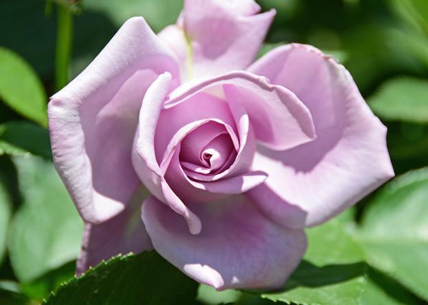 Photos: 淡紫