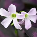 Photos: 可憐な白花