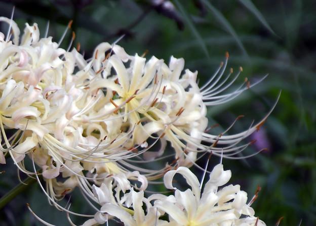 満開に咲く白花曼珠沙華1