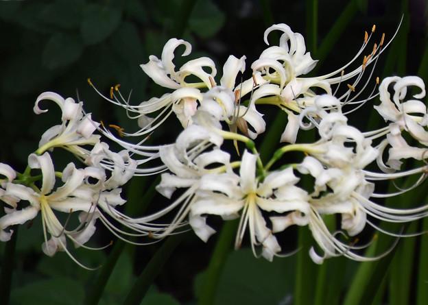 満開に咲く白花曼珠沙華2