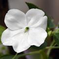 愛らしい五裂の花
