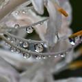 Photos: 滴に咲く