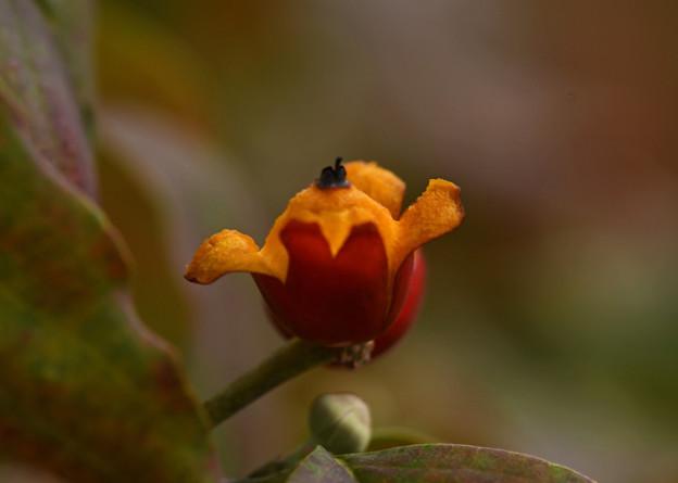 完熟した花水木の実
