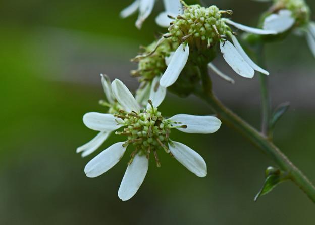 白山菊(シラヤマギク)