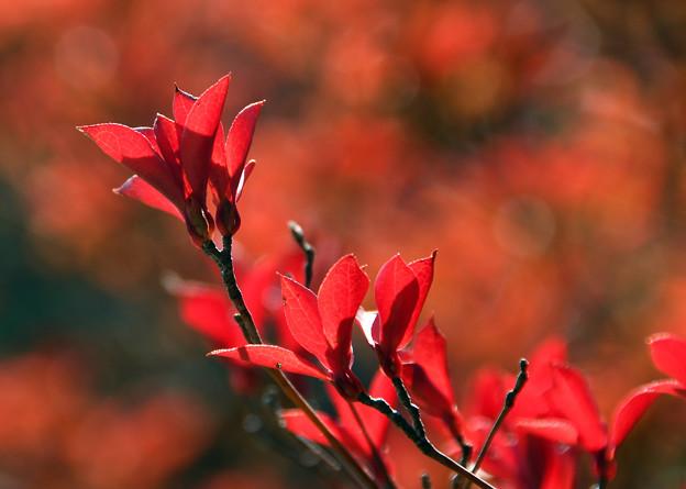 満天星の紅葉1