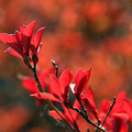 Photos: 満天星の紅葉1