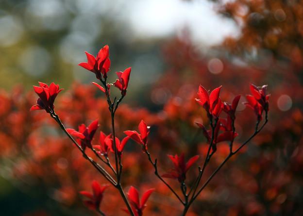 満天星の紅葉2