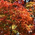 目ぐすりの木の紅葉