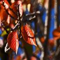 八重桜の紅葉